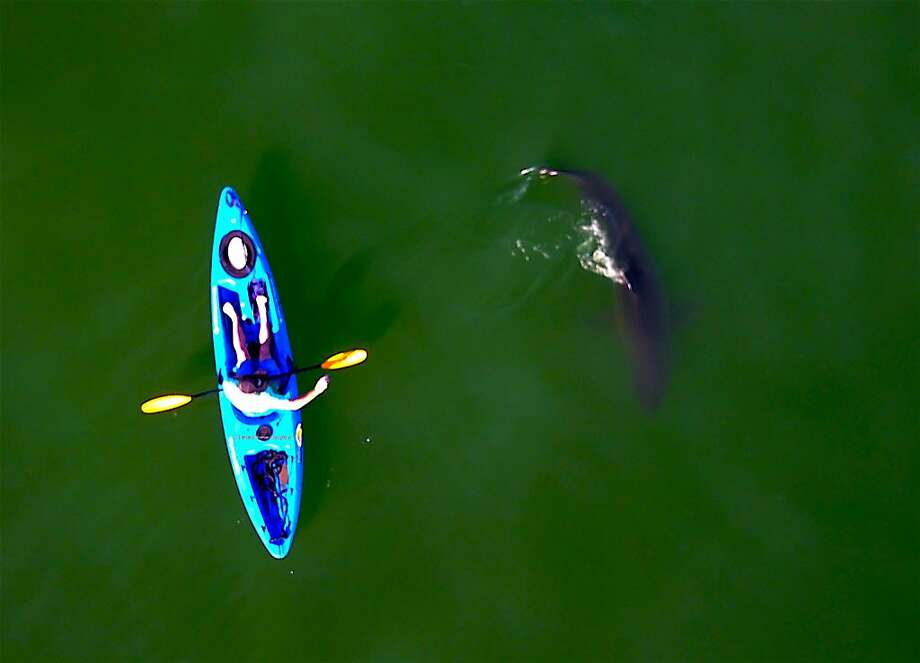 Jed Squid Beck in kayak as 10-foot great white shark swims by, photographed from camera overhead in a drone off Seacliff State Beach in Aptos on Monterey Bay Photo: Tom Stienstra, Giancarlo Thomae / Special To The Chronicle