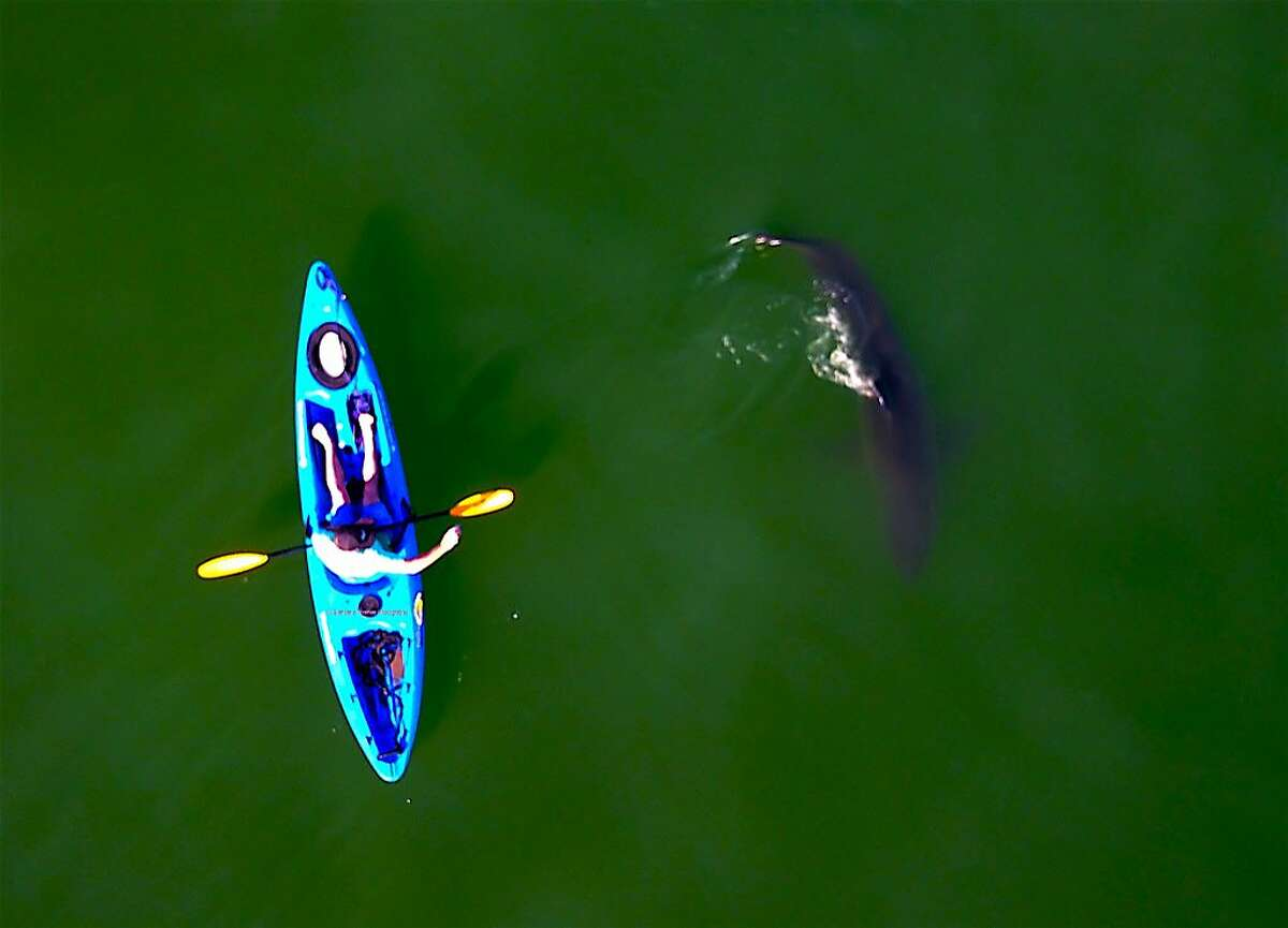 Jed Squid Beck in kayak as 10-foot great white shark swims by, photographed from camera overhead in a drone off Seacliff State Beach in Aptos on Monterey Bay