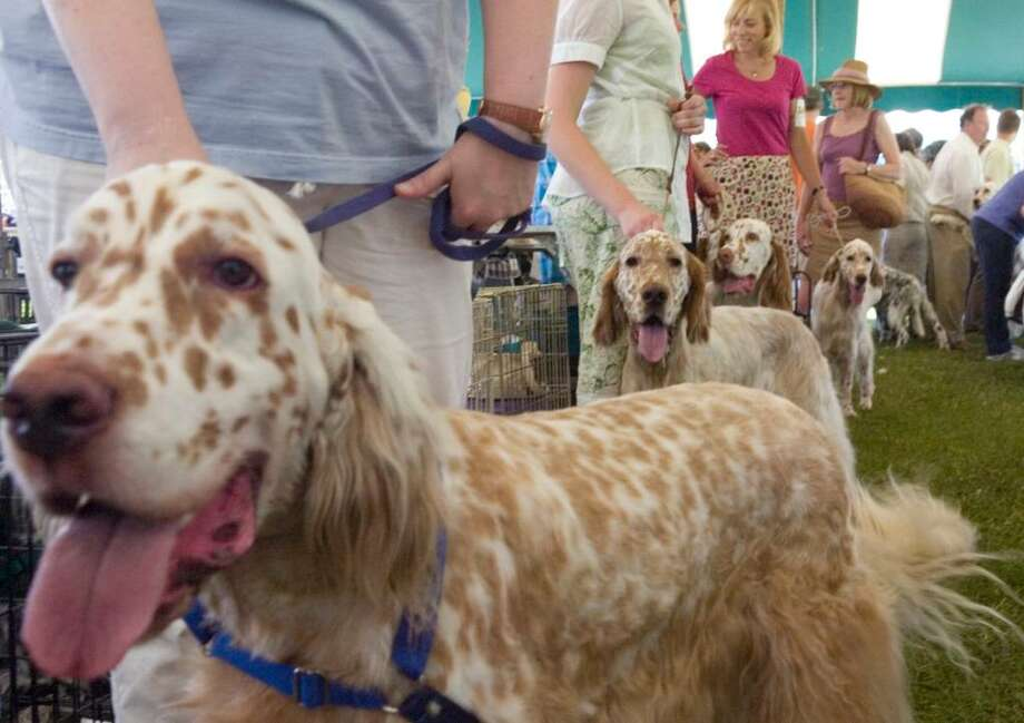 A group of male English Setters wait to compete at a previous Greenwich Kennel Club All Breed Dog Show, Obedience Trial and Rally Trial at Taylor Farm Park in Norwalk. The club will again hold this year's show at the park on Saturday. The event will feature more than 1,200 purebred dogs, Photo: File Photo / Stamford Advocate File Photo