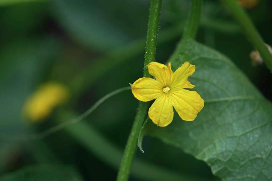 "This June 2, 2017 photo shows a cucumber flower growing on a cucumber plant at the organic community garden ""Huerto Roma Verde"" in Mexico City. Cucumber plants bear separate female and male flowers, but only the female flowers yield cucumber fruits. (AP Photo/Leslie Mazoch) Photo: Leslie Mazoch, STF / Copyright 2017 The Associated Press. All rights reserved."