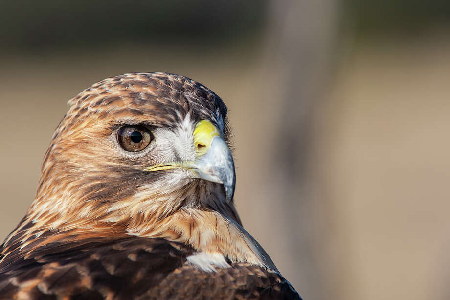 The eyes of a hawk, like this red-tailed hawk, are positioned near the front of the head to provide binocular vision, meaning each eye focuses at the same time as in human vision.  Photo Credit:  Kathy Adams Clark.  Restricted use. Photo: Kathy Adams Clark / Kathy Adams Clark/KAC Productions