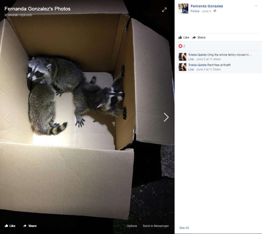 Fernanda Gonzalez, of Arlington, shared her tale of raccoon invasion via Facebook. Photo: Facebook/fernandagonzalez