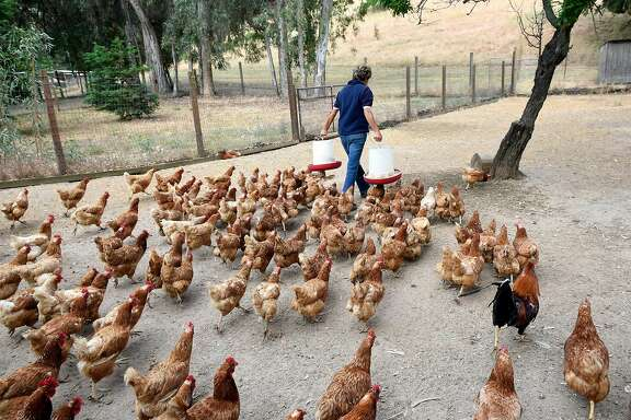 Rescue chickens follow Ranch Manager Jan Galeazzi during feeding time at Animal Place Rescue & Adoption Center in Vacaville, CA, on Friday June 9, 2017.