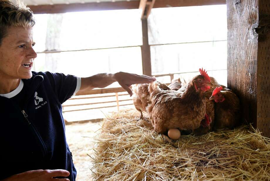 Ranch Manager Jan Galeazzi points out roosting hens with eggs in a coop at Animal Place Rescue and Adoption Center in Vacaville. Photo: Michael Short, Special To The Chronicle