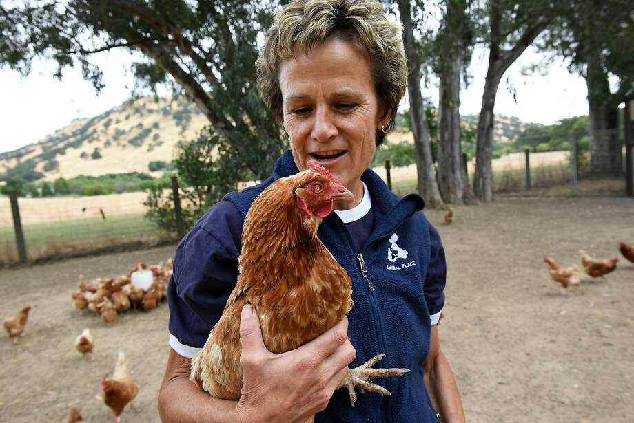 Ranch Manager Jan Galeazzi holds a rescue hen during feeding time at Animal Place Rescue and Adoption Center in Vacaville. Photo: Michael Short, Special To The Chronicle