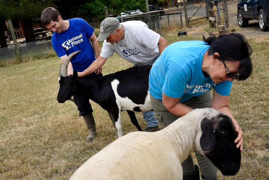 Animal caregivers Blake Caraska (left) Rocky Fullerton and Lori Woods attend to Lucas the goat and Gemini the sheep at Animal Place Rescue and Adoption Center in Vacaville. Photo: Michael Short, Special To The Chronicle