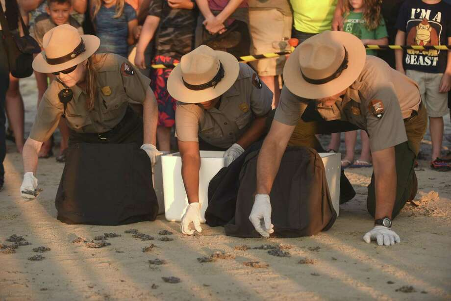 Padre Island National Seashore Rangers release 78 KempÕs ridley sea turtle hatchlings near the Malaquite Visitors Center on Wednesday morning, June 7, 2017. Over 300 nests have been found on the Texas Gulf Coast this year. Donna Shaver, left, head of the Division of Sea Turtle Science and Recovery at Padre Island National Seashore, said that only about one in 400 hatchlings makes it to adulthood. Photo: Billy Calzada, Staff / San Antonio Express-News / San Antonio Express-News