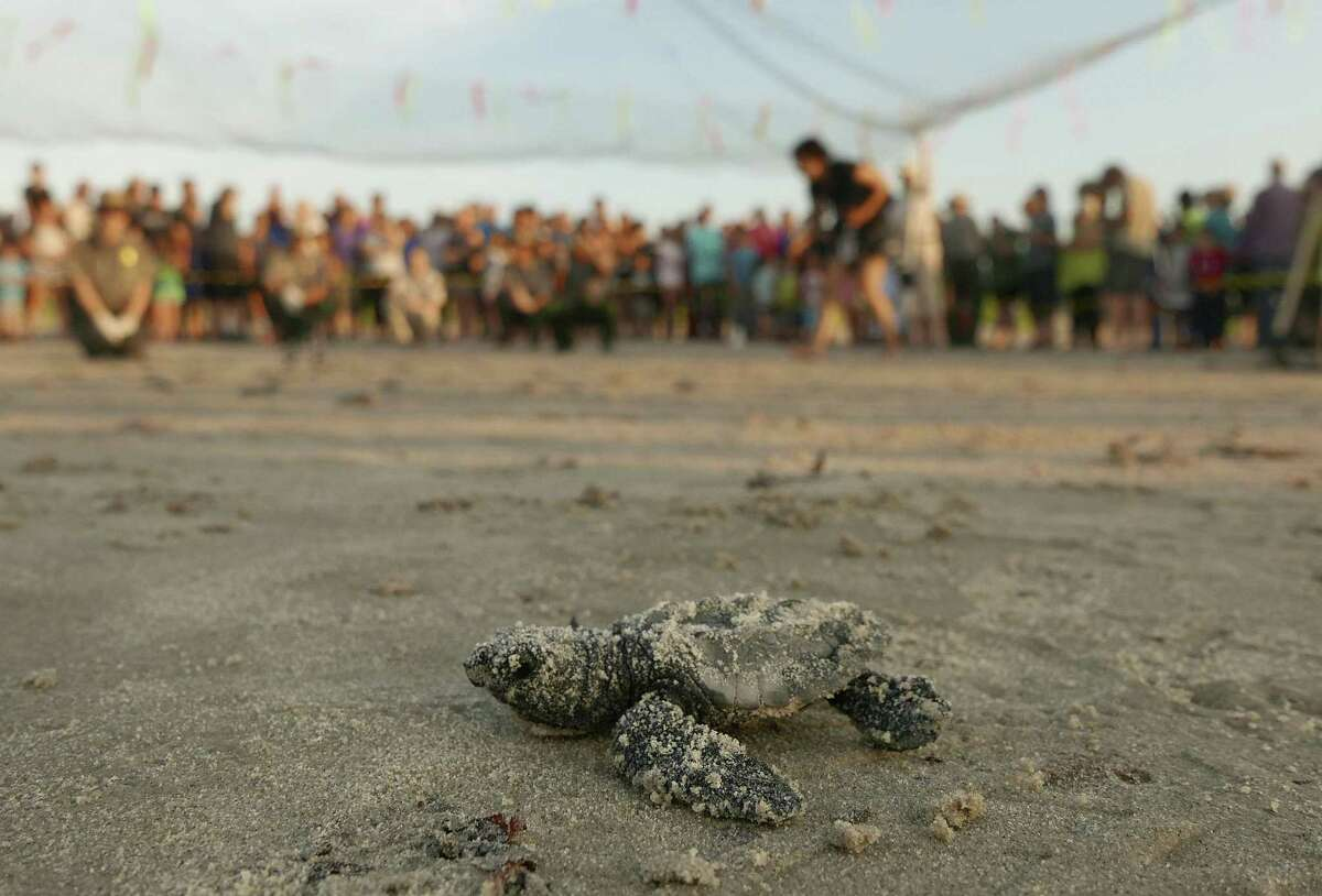 A Kemps ridley sea turtle hatchling, one of 78 released near the Malaquite Visitors Center at Padre Island National Seashore, makes its way into the surf on Wednesday morning, June 7, 2017. Over 300 nests have been found on the Texas Gulf Coast this year.