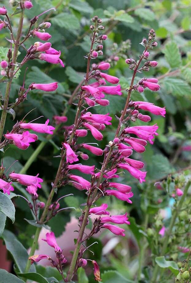 Penstemon clevelandii var connatus. Photo: Annie�s Annuals & Perennials