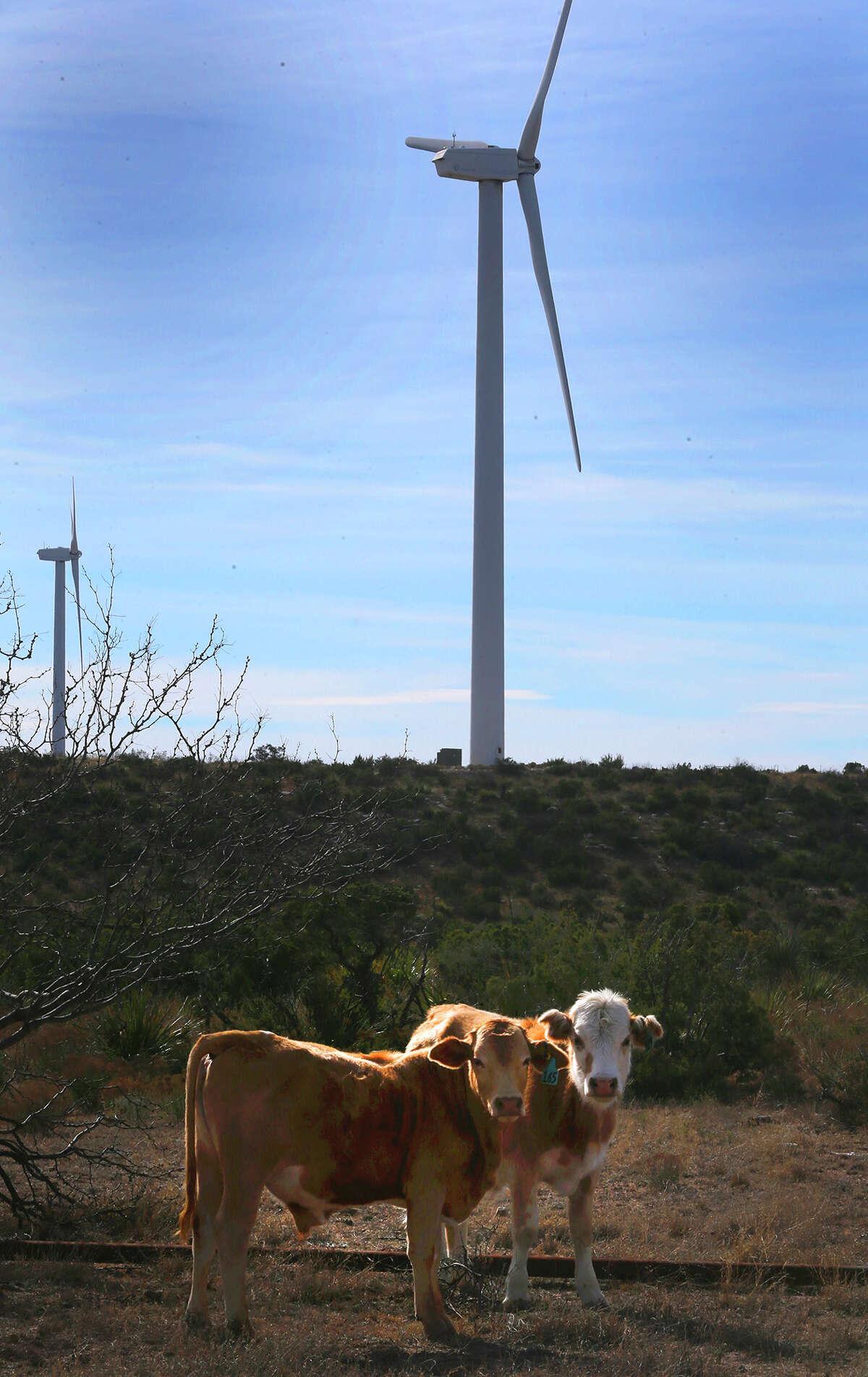 Cattle roam on a mesa near Iraan, Texas, on the site of the Desert Sky Wind Farm.