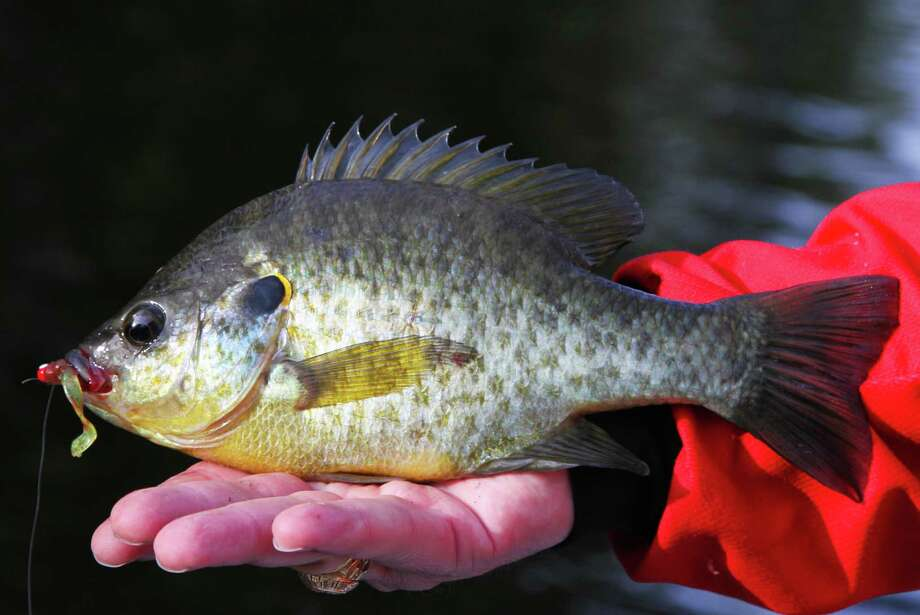 "Lakes Raven, Fayette County, Purtis Creek, Tyler and Lady Bird can provide outstanding fishing for redear sunfish as the fish, sometimes called ""shellcrackers"" because of their affinity for aquatic snails, concentrate for their annual spawn. Photo: Shannon Tompkins"