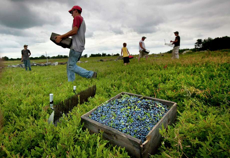ILE - In this Friday, July 27, 2012, file photo, workers harvest wild blueberries at the Ridgeberry Farm in Appleton, Maine. Maine's governor and members of its blueberry industry fear losing growers due to a depression in prices that has made growing the beloved crop a less reliable way to make a living. (AP Photo/Robert F. Bukaty, File) Photo: Robert F. Bukaty, STF / Copyright 2017 The Associated Press. All rights reserved.