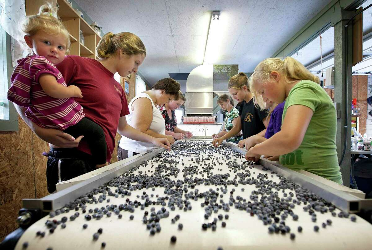 Workers process wild blueberries at the Ridgeberry Farm in Appleton, Maine. Maine's governor and members of its blueberry industry fear losing growers due to a depression in prices that has made growing the beloved crop a less reliable way to make a living. (AP Photo/Robert F. Bukaty, File)
