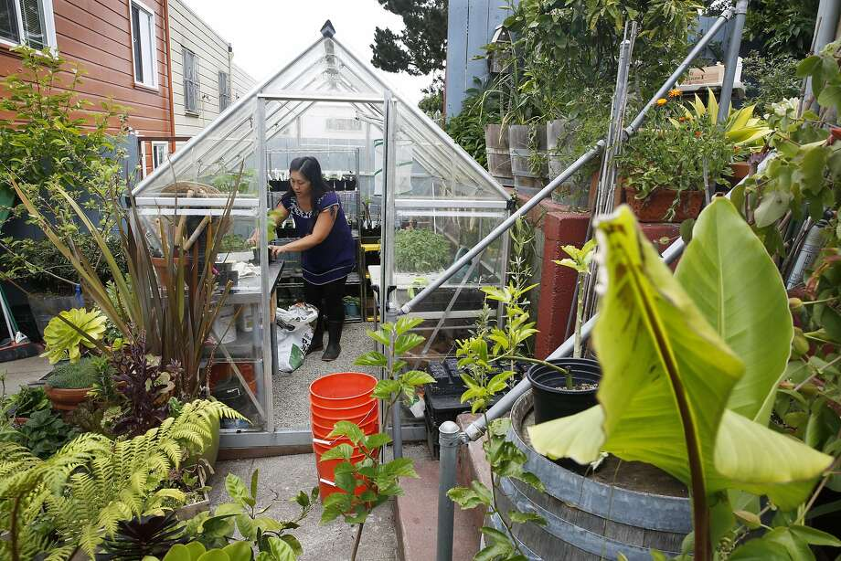 Jamie Chan, 37, works in her greenhouse which is a part of her extensive backyard garden at her home in San Francisco May 4th, 2017.  Chan and her family raise chickens, bees, and grow their own food in their homestead. Photo: Kathleen Duncan, The Chronicle