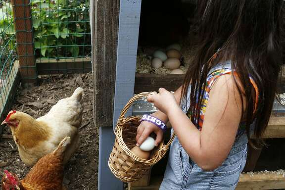 Kira Mei Herrera, 6, collects eggs from the chicken coop at home May th, 2017 in San Francisco. Her parents Jamie Chan, 37, and Blas Herrera, 38, grow their own food, raise chickens and have bee hives at their San Francisco home.