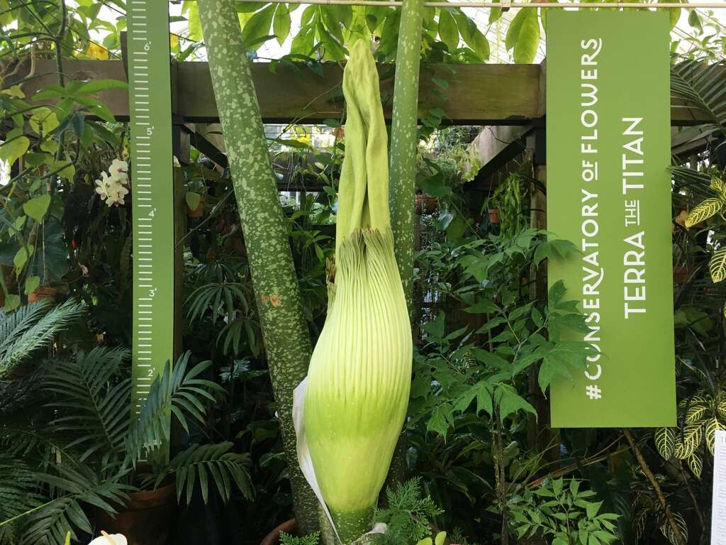 mystery man fondles famous u0027corpse flower u0027 in sf on live stream