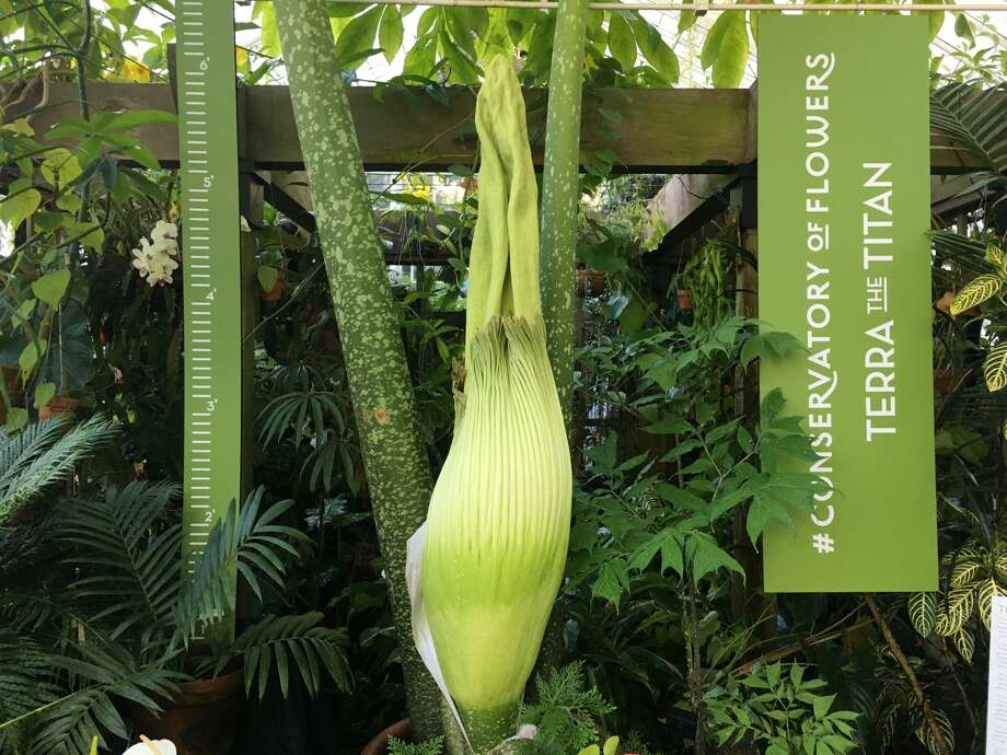 Terra the Titan, pictured June 13, 2017, on the verge of blooming and giving off a putrid smell at the San Francisco Conservatory of Flowers in Golden Gate Park.  Photo: Courtesy Conservatory Of Flowers