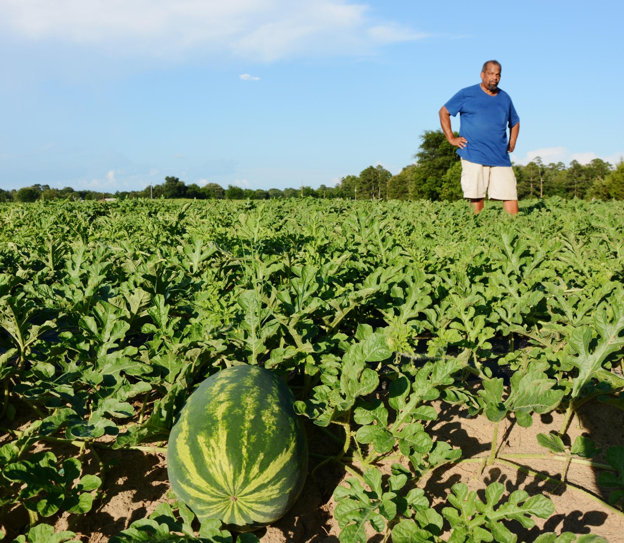 Texas watermelon crop looks good, on schedule - San ...