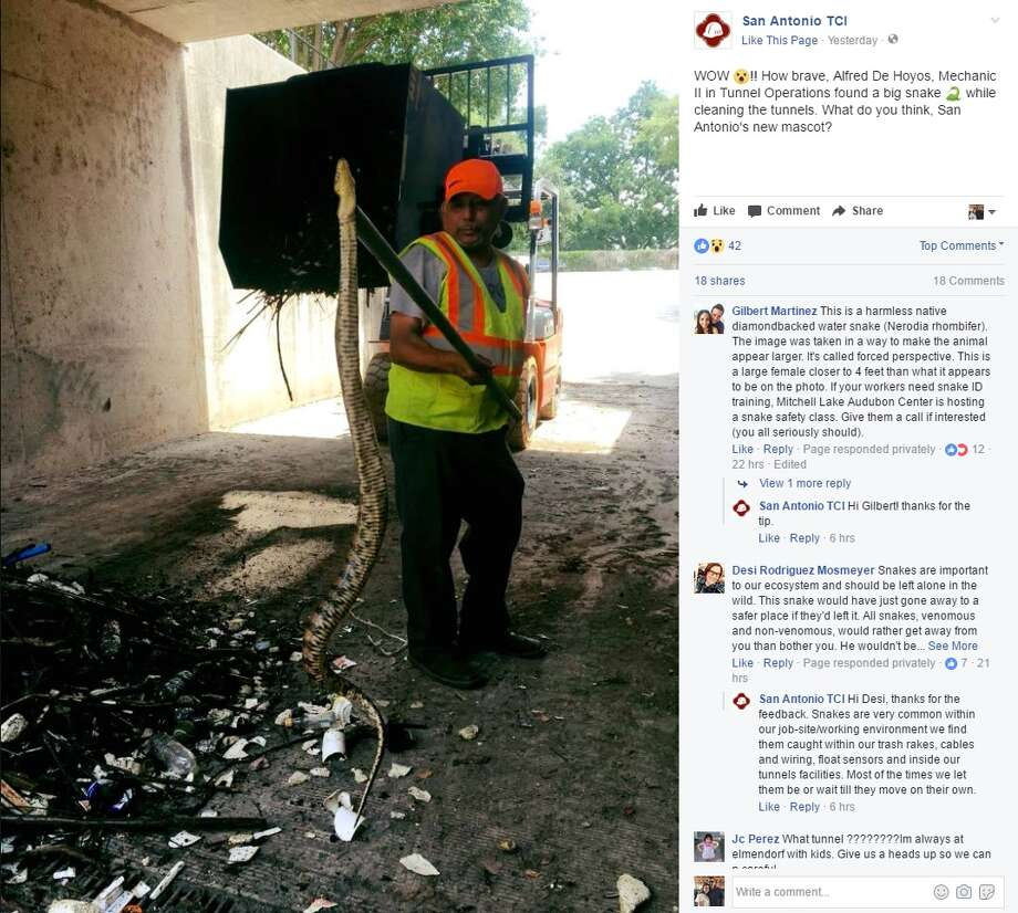 """San Antonio TCI: """"Wow!! How brave, Alfred De Hoyos, Mechanic II in Tunnel Operations found a big snake while cleaning the tunnels. What do you think, San Antonio's new mascot?"""" Photo: Facebook/San Antonio TCI"""