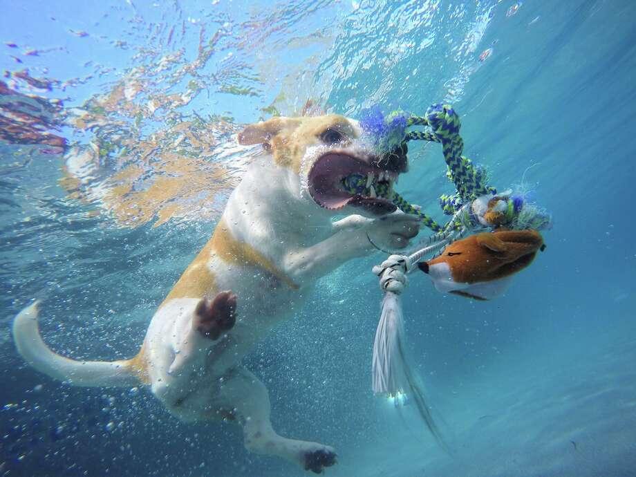 Rummy S Dog Swimming