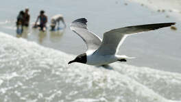 A seagull flies high over beach-goers on Galveston island.  (Photo by Patric Schneider)
