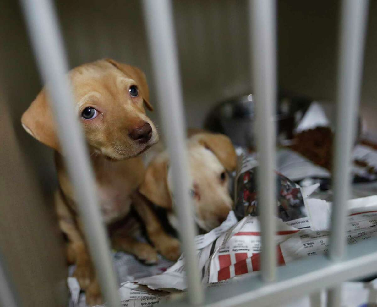 A couple of puppies up for adoption at the Harris County Animal Shelter, Thursday, June, 15, 2017, where they are boosting it's ability to transport animals out of state as well as increasing medical services. ( Karen Warren / Houston Chronicle )