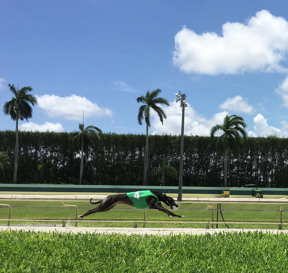 Atascocita Laden races at the Palm Beach Kennel Club, one of 12 dog tracks in Florida. Photo: Duncan Strauss / For the Washington Post
