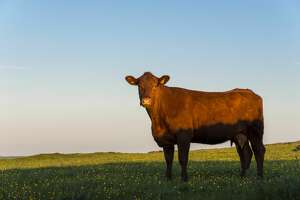 A brown cow on a pleasant summer evening in the English countryside.