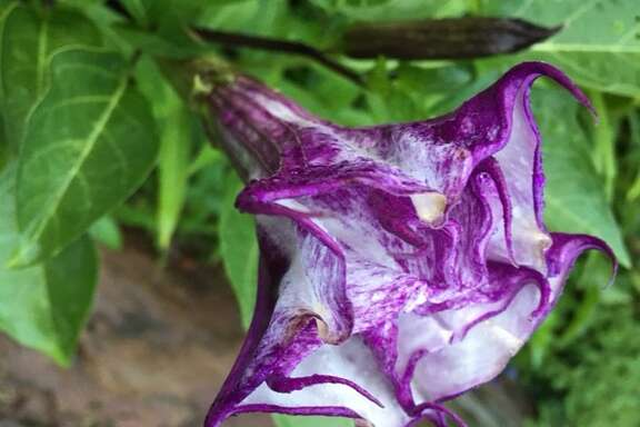 Double purple Datura likes full sun.