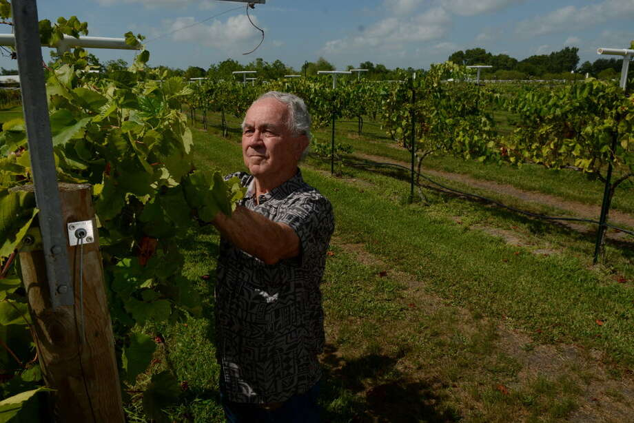 Raymond Haak, owner of Haak Vineyards & Winery in Santa Fe, checks for drooping vines on the three acres of Blanc du Bois berries during a walk-around in 2015. Photo: Jerry Baker, Freelance