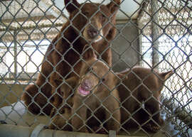 The family of black bears that were transferred to the Oakland Zoo. The family broke into a rural Kern County, Calif. home and roughed up a human while foraging.