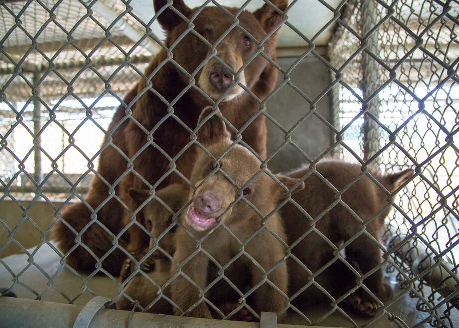 The family of black bears that were transferred to the Oakland Zoo are shown in this handout photo from the California Department of Fish and Wildlife. The family broke into a rural Kern County, Calif. home and roughed up a human while foraging. Photo: Travis VanZant/California Department Of Fish And Wildlife