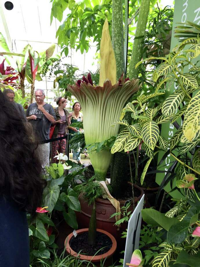 People wait to get a whiff of the corpse plant at the Conservatory of Flowers in Golden Gate Park. Photo: Steve Rubenstein / The Chronicle / Steve Rubenstein / The Chronicle
