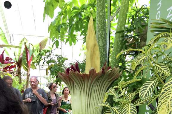 People wait to get a whiff of the corpse plant at the Conservatory of Flowers in Golden Gate Park.