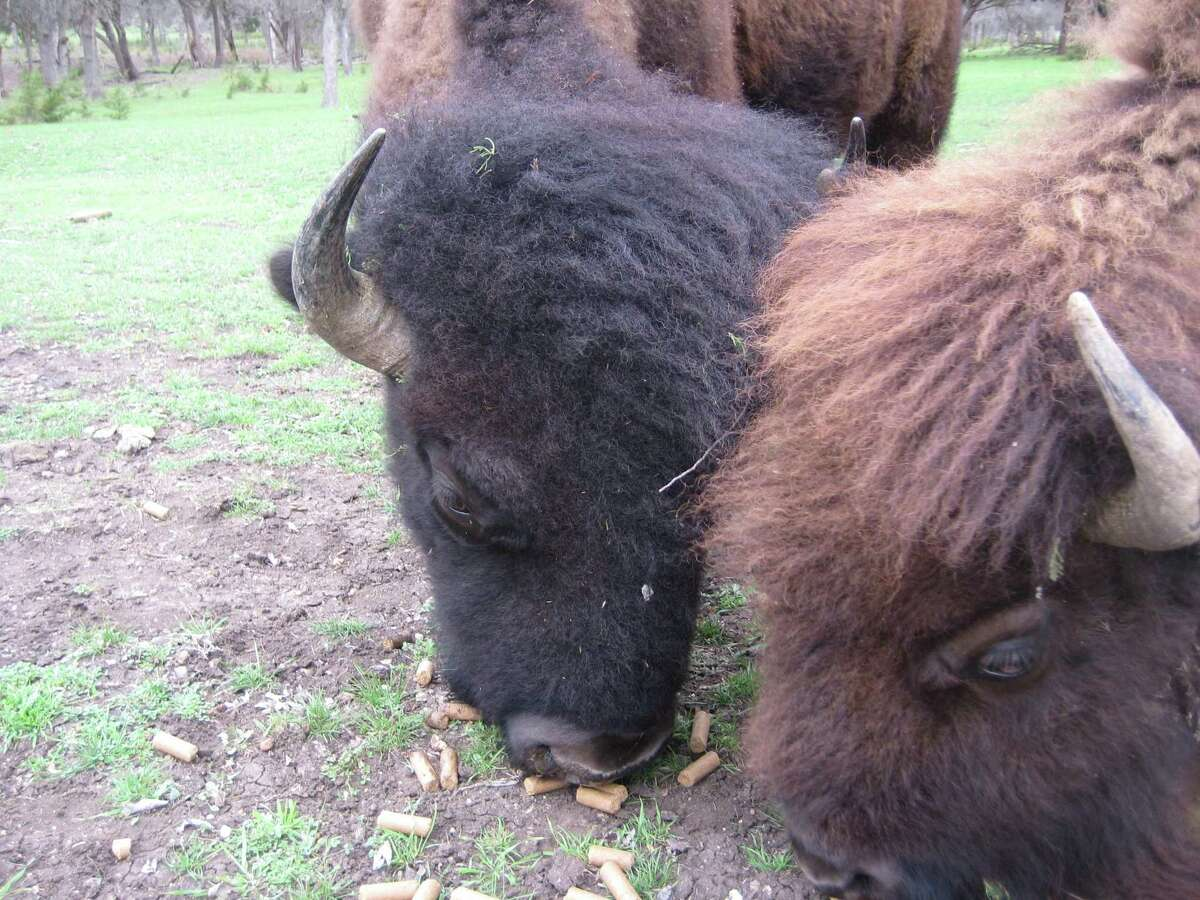 Two bison - a bull (with the black hair) and a cow (usually with a brown head) eat cattle cubes on the Fox Creek Ranch.