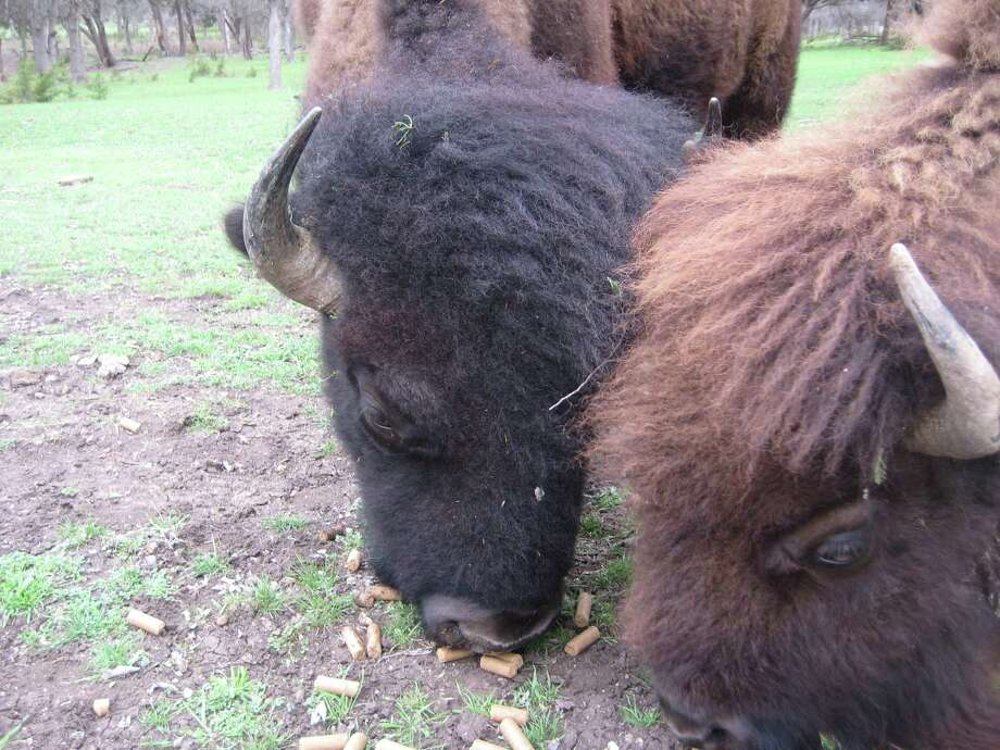 Two bison — a bull (with the black hair) and a cow (usually with a brown head) eat cattle cubes on the Fox Creek Ranch. Photo: Courtesy Charles Wilson / Fox Creek Ranch, China Spring, Texas