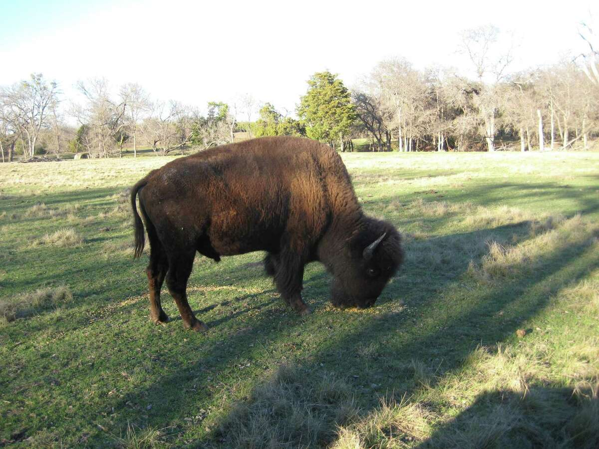 A bison grazing on the Fox Creek Ranch shows the traditional lines of a healthy bull. They can be more than 6 feet tall at the hump, then have a gentle slope to the tail. The front legs are almost their center of gravity, giving them great agility.