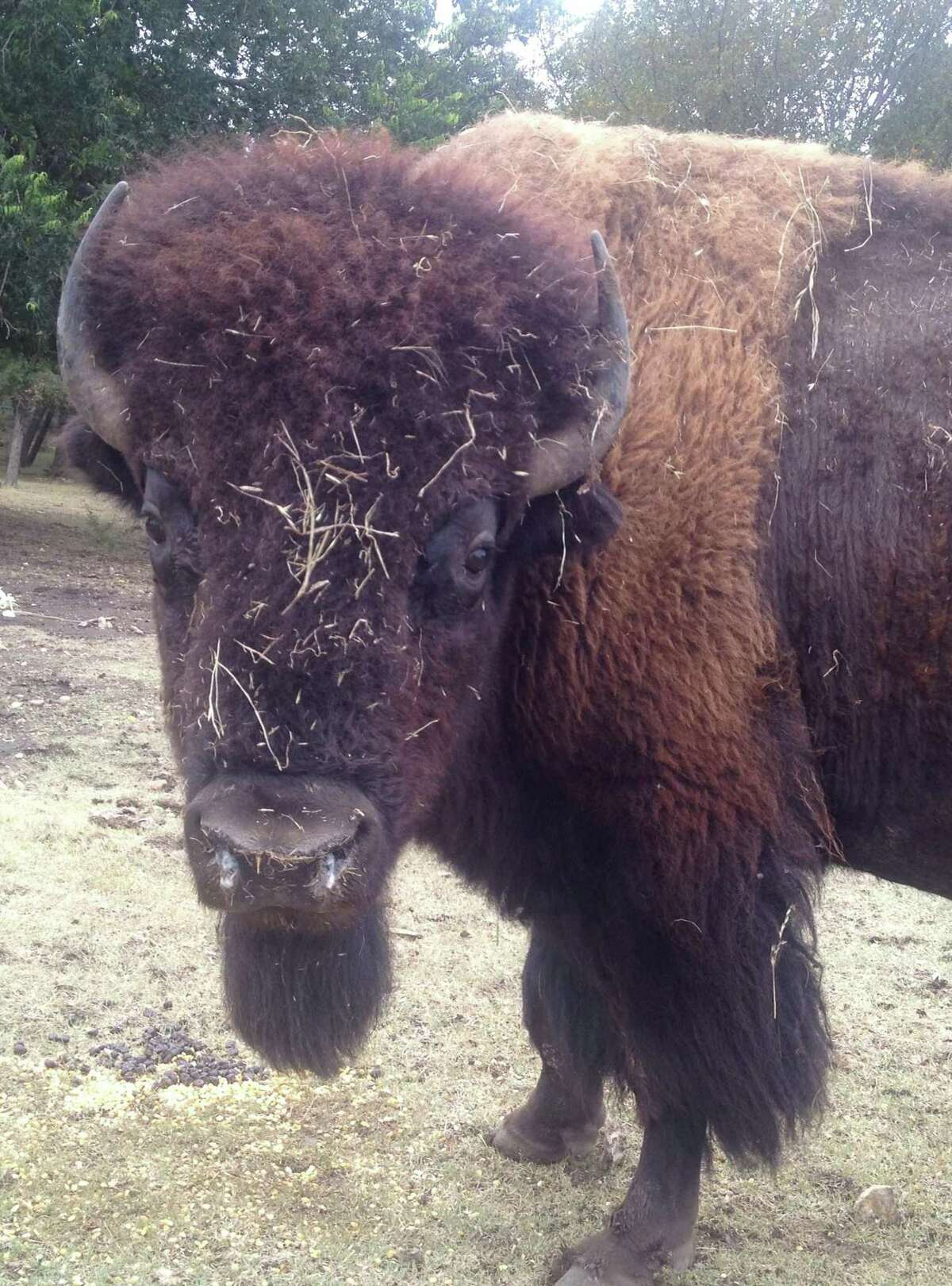 Buster, a bison on the Fox Creek Ranch, likes to play with new bales of hay when they're set out for feed, says owner Charles Wilson. It looks like the bull just finished one off.