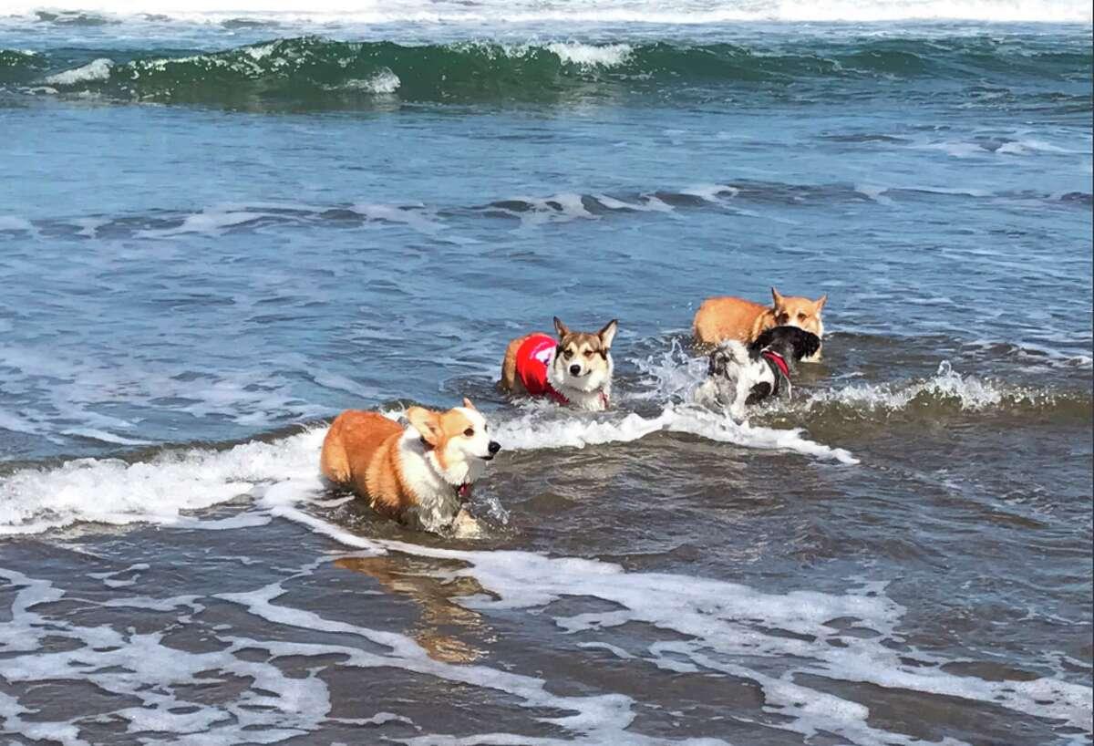 Corgis converged on Ocean Beach Saturday, June 17, for the bi-annual Corgi Con meet-up.