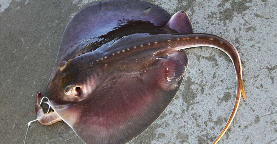The serrated barb atop the whip-like tail of Atlantic stingrays delivers a painful and potentially damaging toxin, something scores of Texans who spend time in coastal waters lamentably learn each summer. Photo: Shannon Tompkins/Houston Chronicle
