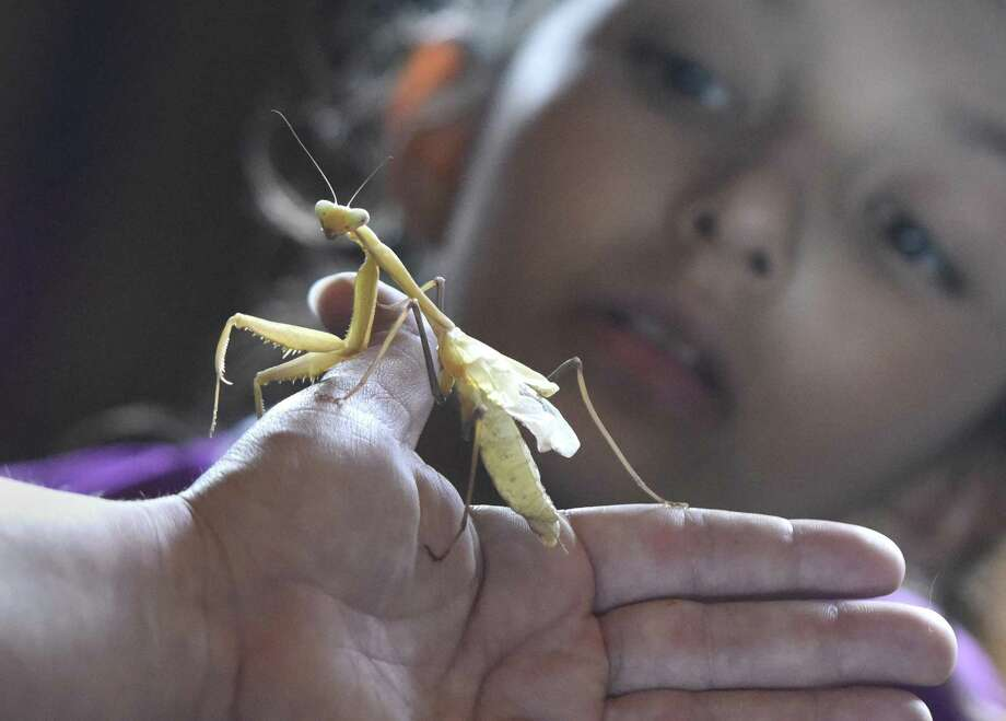 "Greenwich's Sophie Estrada, 9, looks at a Chinese mantis during the ""Invertebrates: No Backbone, No Problem"" program at Greenwich Point's Innis Arden Cottage in Old Greenwich, Conn. Sunday, June 18, 2017. Presented by Friends of Greenwich Point and the Stamford Museum & Nature Center, the program entertained and educated kids with a discussion on invertebrates with a hands-on portion letting the kids see and handle certain critters up close. Photo: Tyler Sizemore / Hearst Connecticut Media / Greenwich Time"