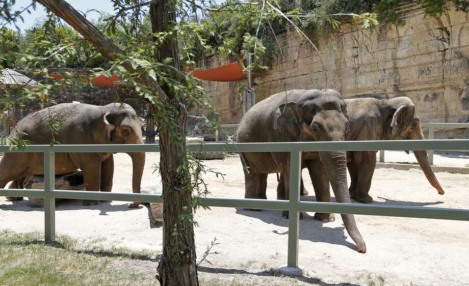 Elephants Nicole (from left), Lucky, and Karen meander in their habitat Saturday June 17, 2017 at the San Antonio Zoo. Photo: Edward A. Ornelas / © 2017 San Antonio Express-News