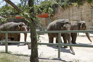 Elephants Nicole (from left), Lucky, and Karen meander in their habitat Saturday June 17, 2017 at the San Antonio Zoo.