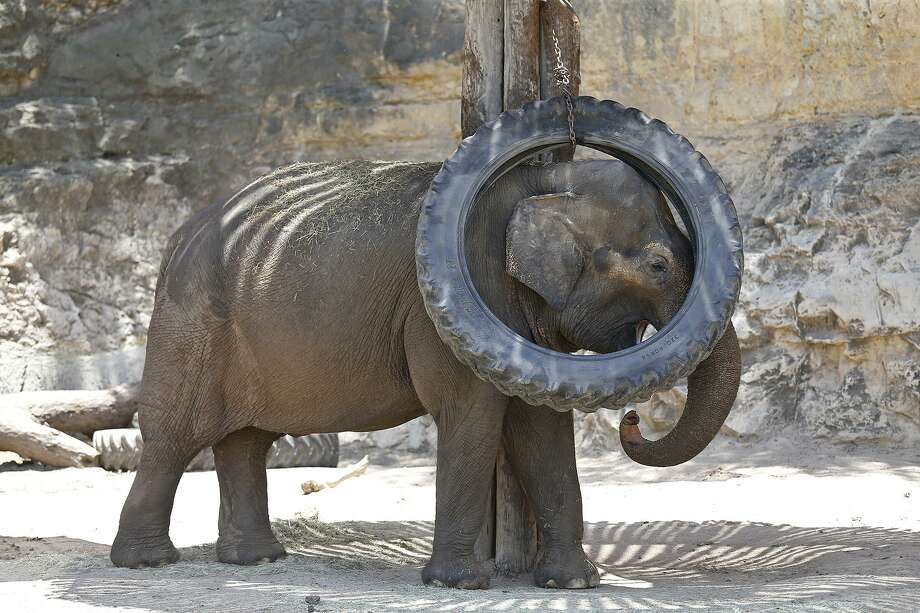 Lucky the elephant scratches herself with a hanging tire June 17 at the San Antonio Zoo. Her living conditions have been vastly improved. Photo: Edward A. Ornelas /San Antonio Express-News / © 2017 San Antonio Express-News