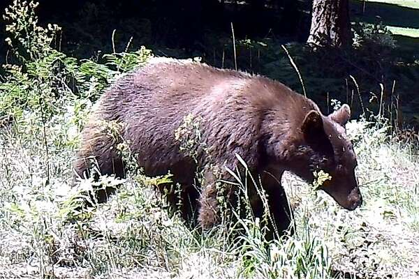 A large black bear on game trail in Shasta-Trinity National Forest