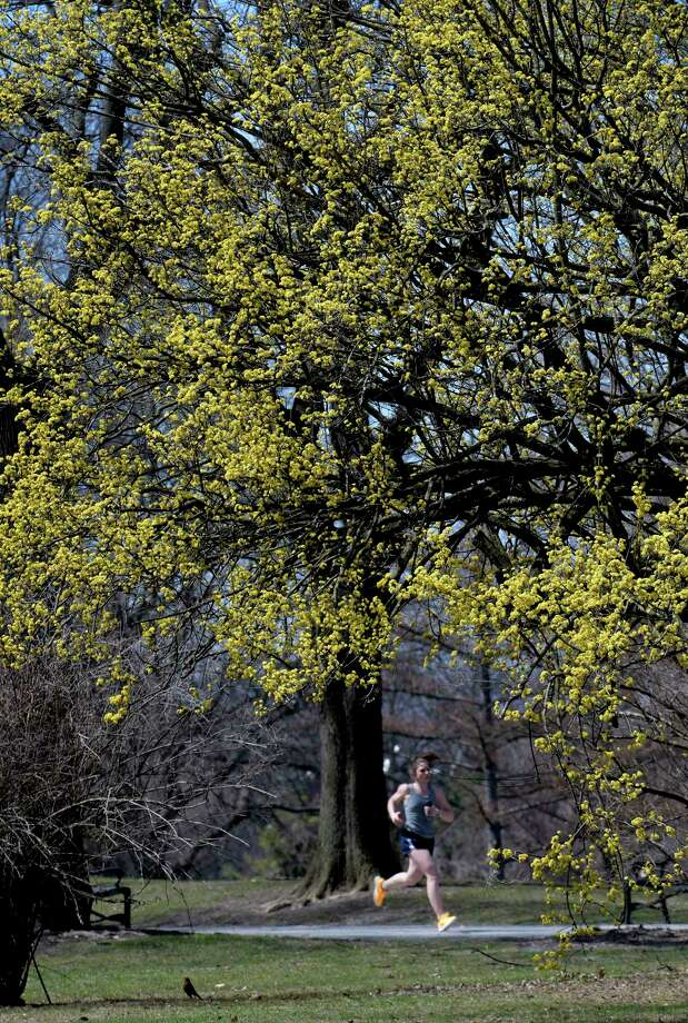 A jogger runs under a blooming tree in Washington Park Monday April 10, 2017 in Albany, N.Y.  (Skip Dickstein/Times Union) Photo: SKIP DICKSTEIN