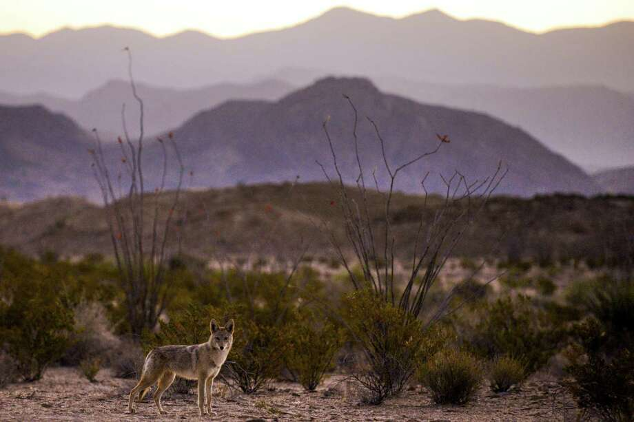 A coyote looks for a meal at sunrise outside Big Bend National Park. A hiker was found dead of likely heat stress in the park on June 18. Photo: Michael Ciaglo /Houston Chronicle / Michael Ciaglo