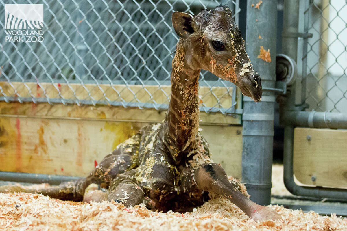 Seattle's newest, tallest baby, born June 20, 2017 at 4:03 a.m. at the Woodland Park Zoo.