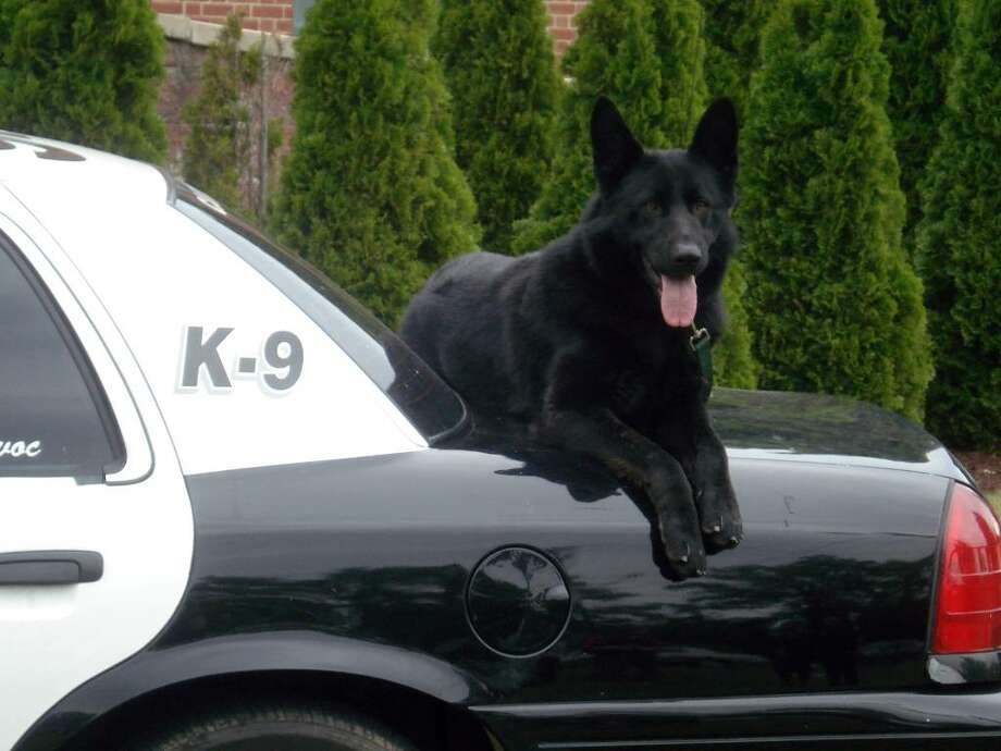 The Seymour Police Department introduced the newest member of the force Wednesday – a 16-month-old midnight black German Shepherd. The dog is for the moment nameless, but that will change soon. People's Bank is sponsoring a name-the-dog contest and offering $100 to the winning entry. Photo: Contributed Photo / Connecticut Post Contributed