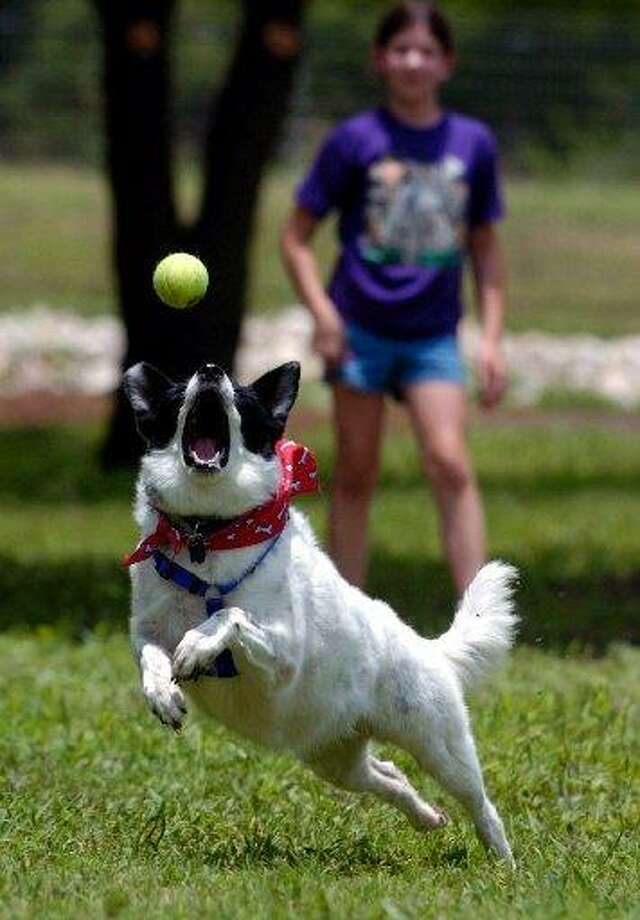 Cassy Belle, a border collie, goes after a ball thrown by Megan Cuda as they play at the newly opened dog park at Pearsall Park Saturday, June 26, 2004. Photo: /BAHRAM MARK SOBHANI / STAFF